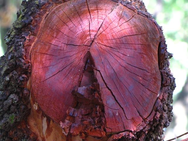 Rhuse Tree Wood
