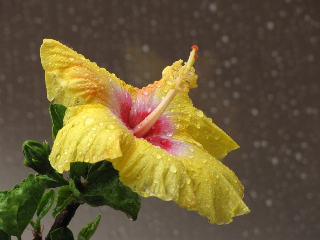 Hibiscous Flower